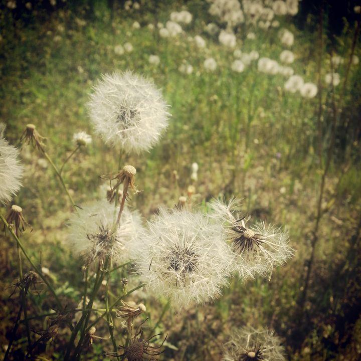 Dandelion Trail - Aisha Hammett Artistry