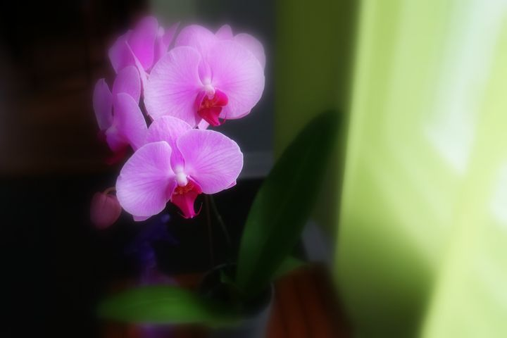 The orchid - imaginart