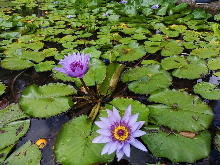 Water lily pond - imaginart
