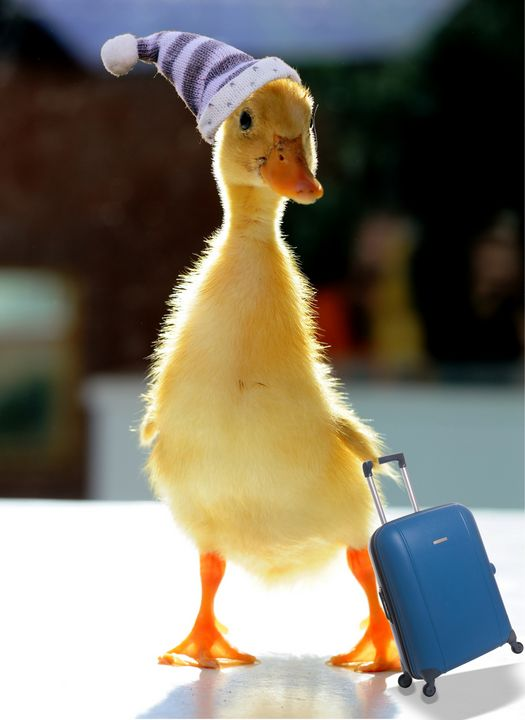Bon voyage duck - imaginart