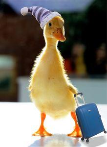 Bon voyage duck