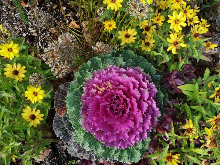 Autumn cabbage - imaginart