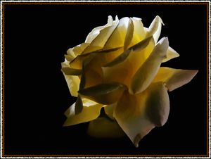 Dramatic Yellow Rose
