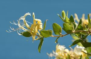Summer Honeysuckle