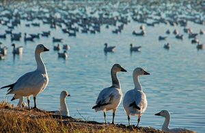 Snow Geese at the Bosque del Apache