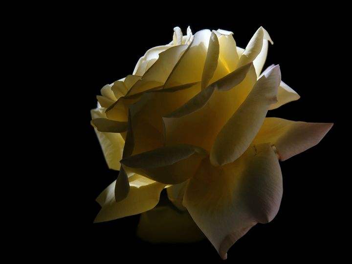 Dramatic Rose - Unseen Gallery Prints
