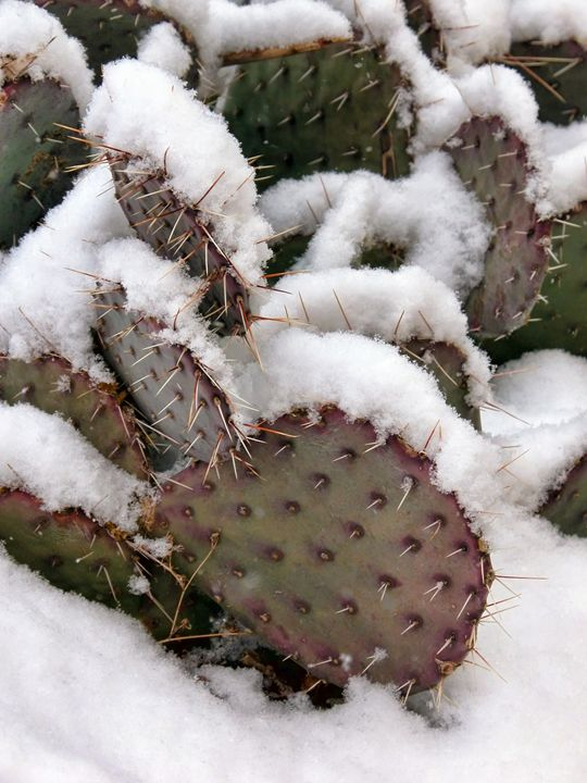 snow on prickly pear cactus - Unseen Gallery Prints