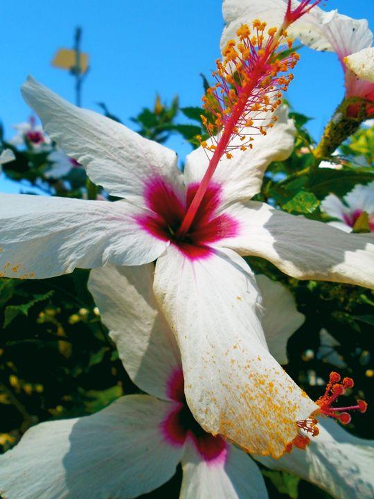 White hibiscus - Photography