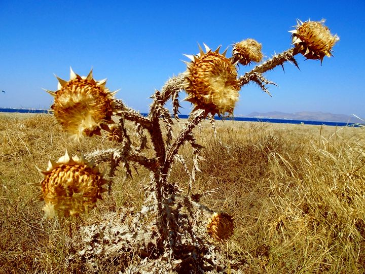 Withered sunflowers - Photography