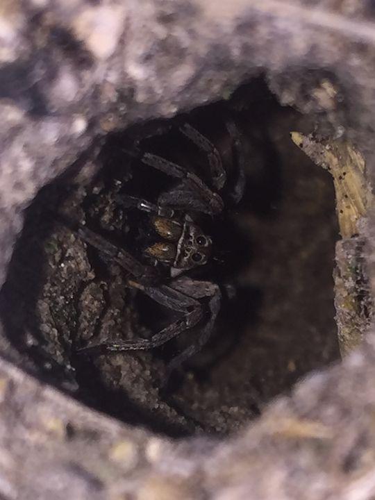 Spider - Lu