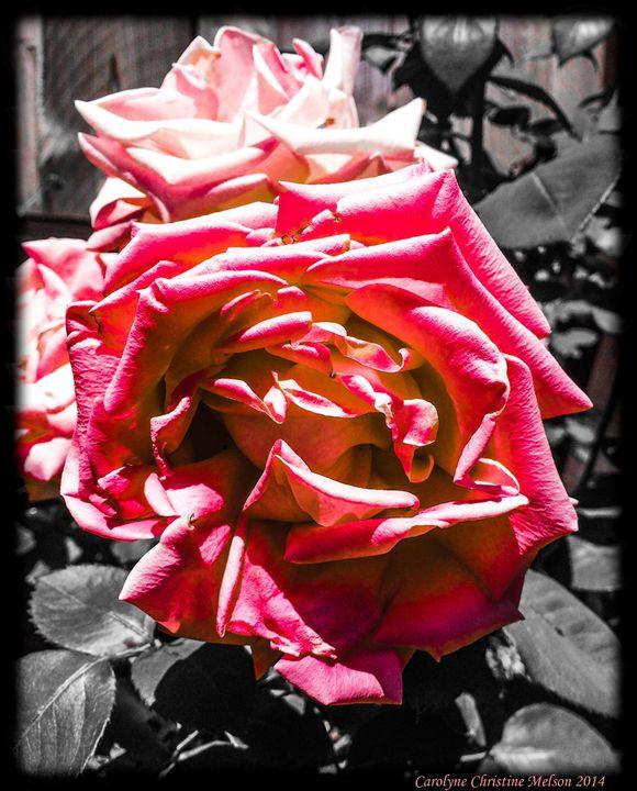 Roses in Contrast 1 - My Naenia Art by Carolyne Christine