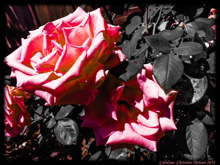 Roses in Contrast 2 - My Naenia Art by Carolyne Christine