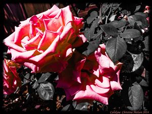 Roses in Contrast 2