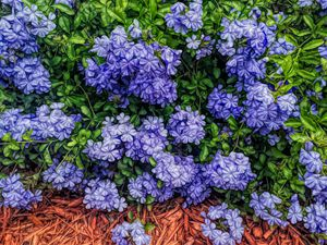 FWC Blue Plumbago Blossoms - Aimee L Maher