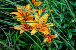 FWC Orange Tiger Lilies - Aimee L Maher