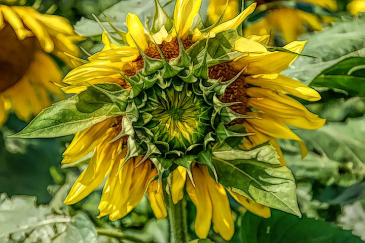 FWC Blooming Sunflower - Aimee L Maher