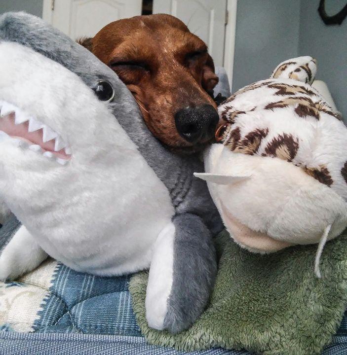 Shark Snuggles - The Golden Griffon