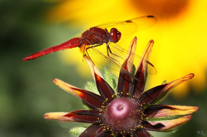 Red Dragonfly - Martina Rathgens Art & Photography