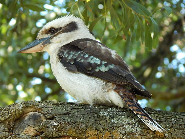 Kookaburra - samararose photography