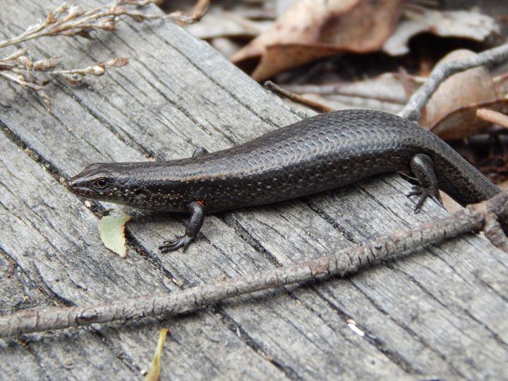Lizard - samararose photography