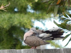 Spotted Dove - samararose photography