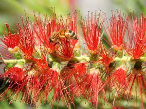 bee on a bottlebrush - samararose photography