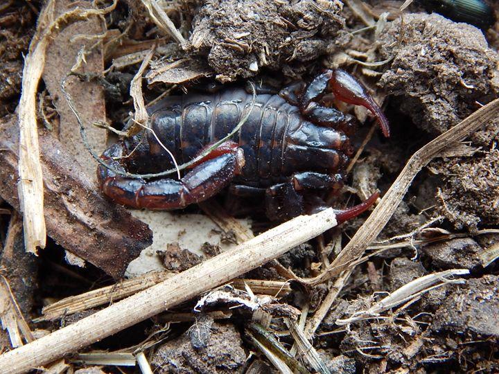 Scorpion - samararose photography
