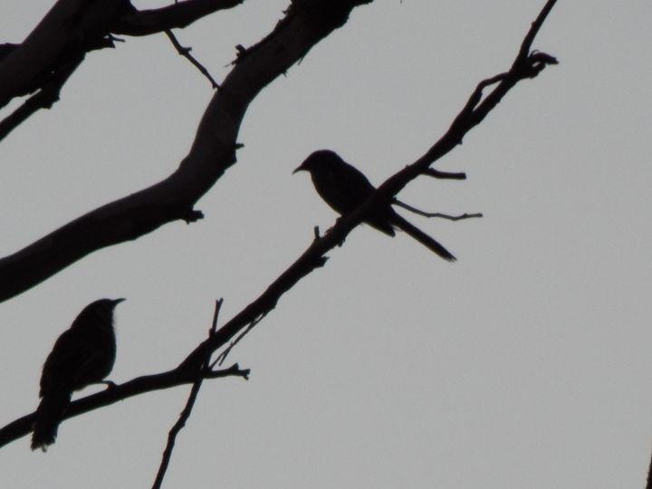 Wattle Birds - samararose photography
