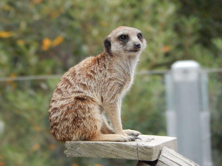 Meerkat - samararose photography