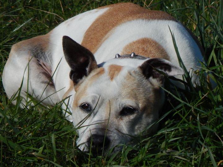 staffie bull terrier - samararose photography