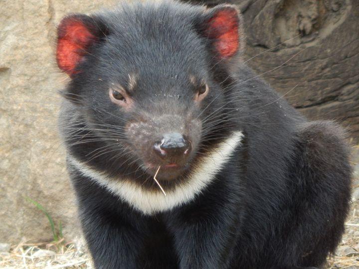 Tasmanian Devil - samararose photography