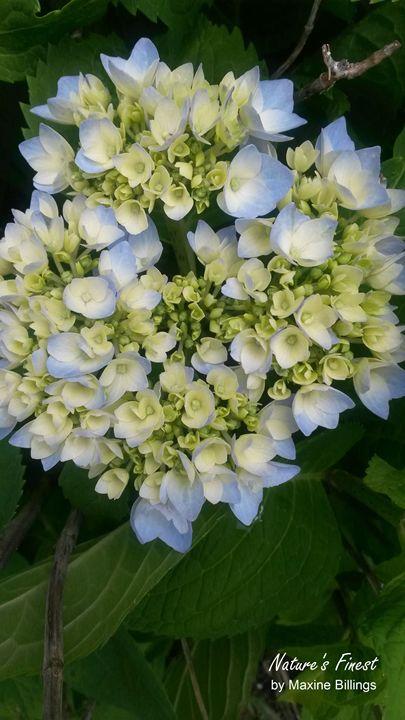 My Blue Hydrangeas - Nature's Finest by Maxine Billings