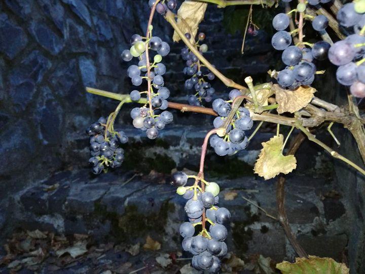 Grape harvesting - Danciatko