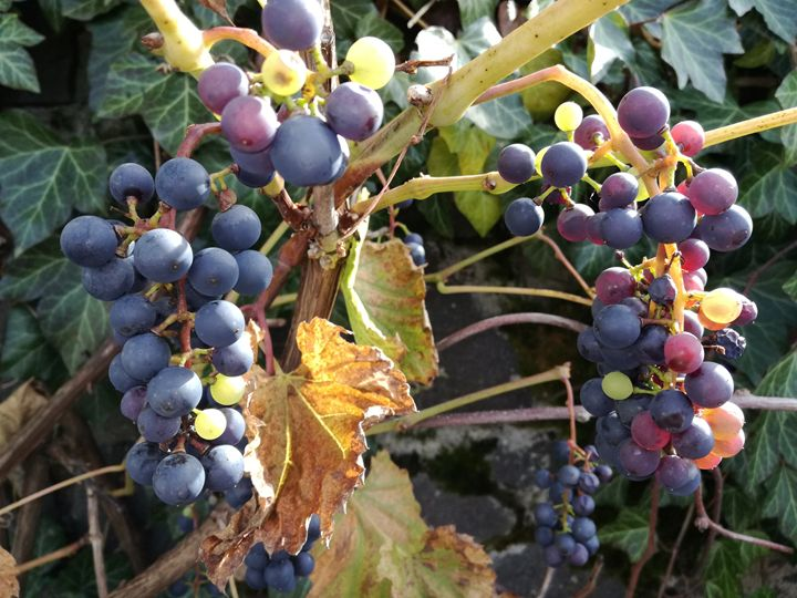 Grapes harvest - Danciatko