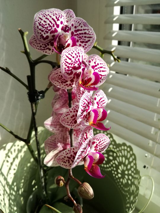 Nice orchids - Danciatko