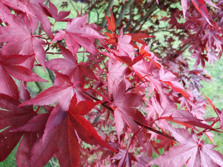 Red maple - Danciatko