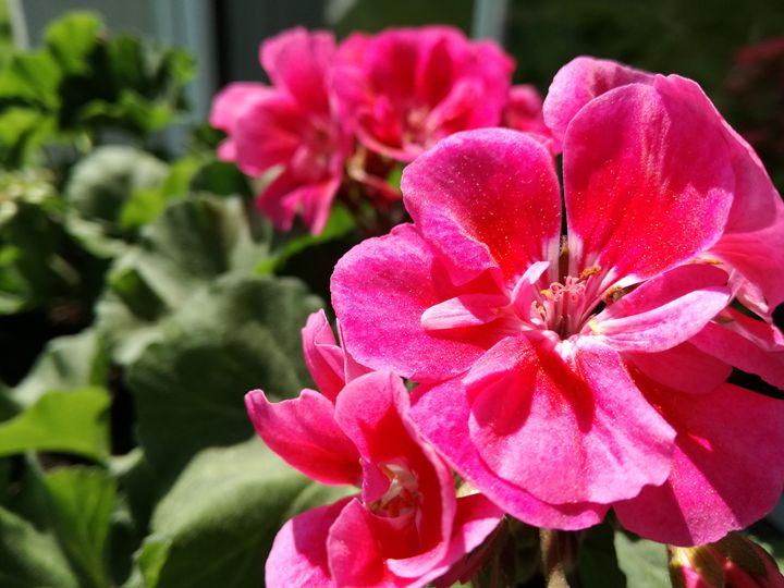 Pink muscat flowers - Danka Art