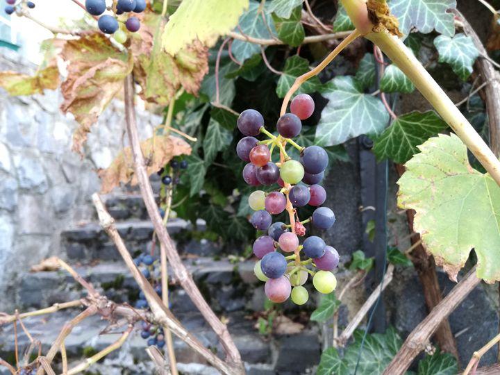 Grapes in the garden - Danciatko