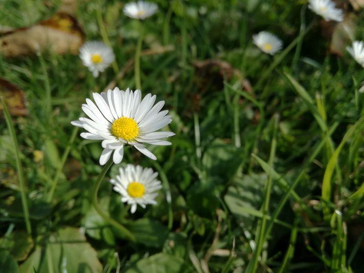 Daisy - Danciatko