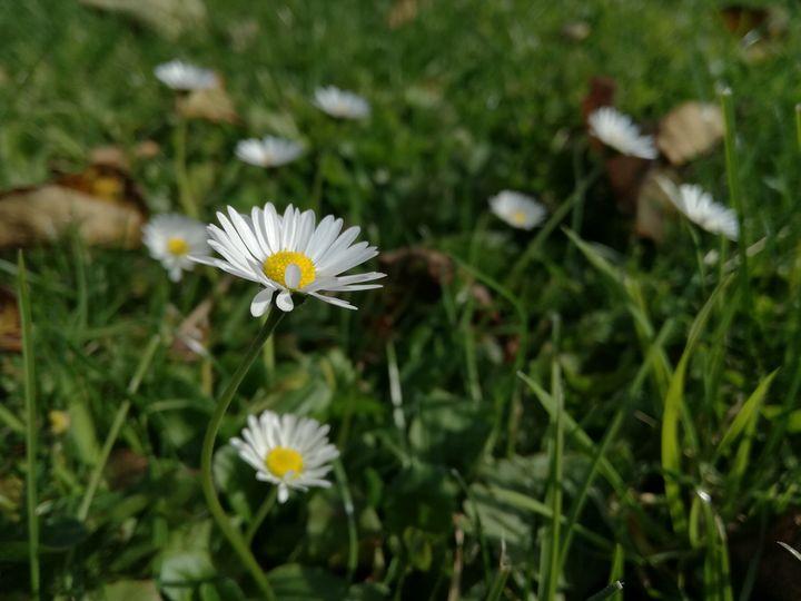 Daisy in the garden - Danciatko