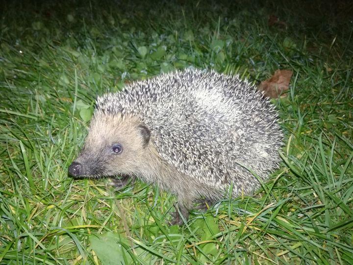 Baby hedgehog - Danka Art