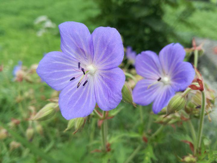 Purple flowers - Danciatko