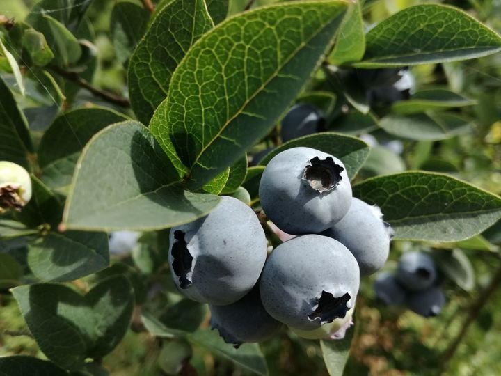 Blueberries - Danciatko