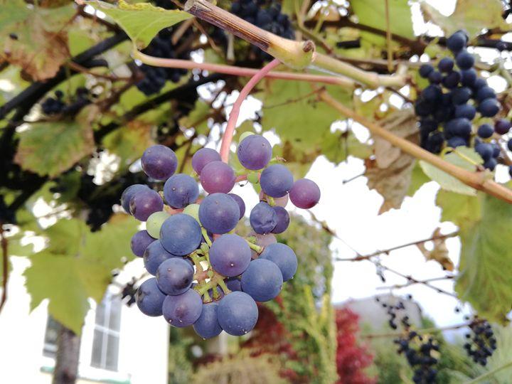 Grapes - Danciatko