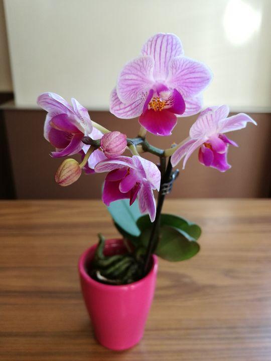 Orchid - Danciatko
