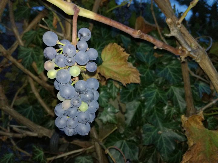 Grape - Danciatko