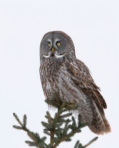 Portrait of Great grey owl