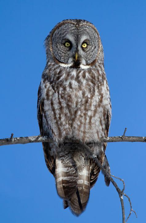 Great grey owl - Jim Cumming