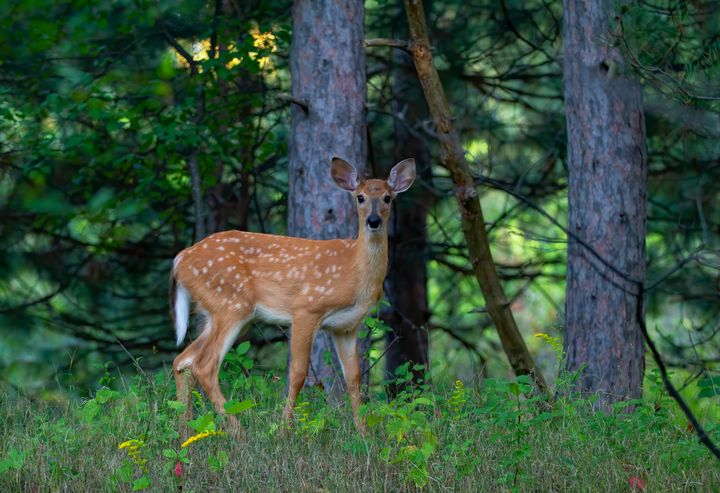 White-tailed fawn - Jim Cumming