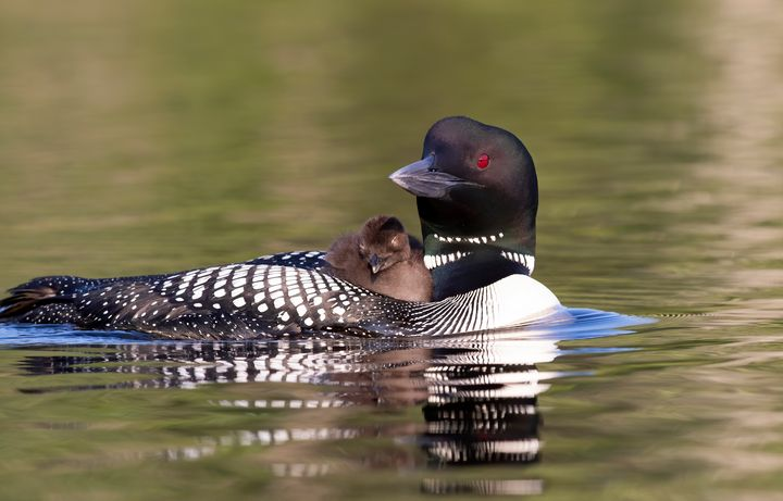 Common Loon with chick - Jim Cumming